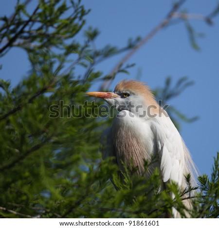 Cattle Egret at Nest