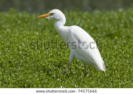 Cattle Egret (Bubulcus ibis ibis) in winter plumage foraging in a marsh.