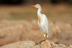 Cattle egret (Bubulcus ibis) perched on a rock, South Africa