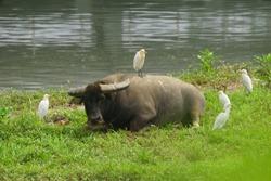 Cattle Egret (Bubulcus ibis). Water bird, wader. perching on domestic ox, cow, cattle (mammal). Foraging. Hong Kong.