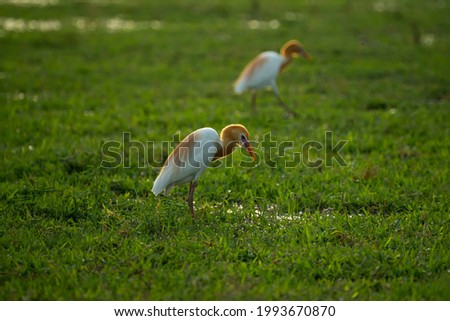 cattle egret in puddle water