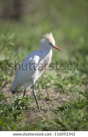 Cattle Egret on grass - stock photo