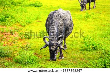 Cattle farm grazing scene view. Horned cattle bull grazing. Bull grazing on pasture. Horned cattle bull