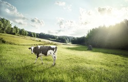 Cattle farming - cow ecological pasture on a meadow looking at the camera