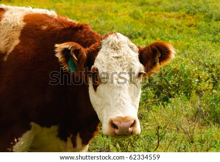 Cattle feeding in a mountain pasture
