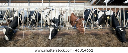 Cattle feeding through the grates of a stable; slight motion blur in the heads to illustrate the liveliness of the scene. Focus on the bars of the grate