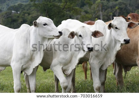 Cattle for meat production in pasture in the Sao Paulo State, in Brazil