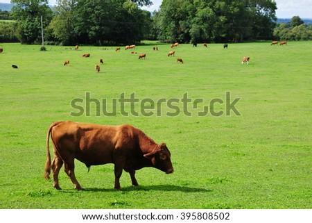 Cattle Graze in a Green Field