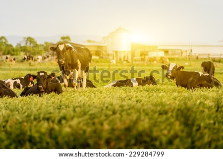 Cattle grazing in a field with the sun rising in the background