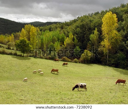 Cattle grazing in a green field in the north of Portugal (autumn colors)