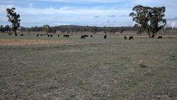 Cattle Grazing in a Paddock at Winton Victoria Australia
