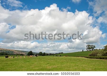 Shutterstock Cattle grazing in a summertime field in the United Kingdom.