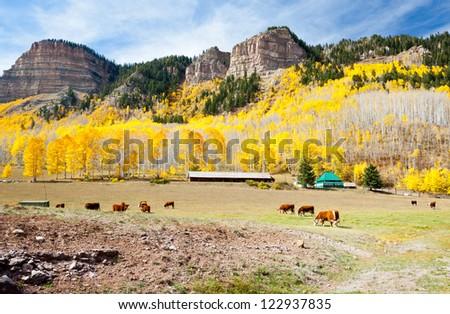 Cattle Grazing In Colorado