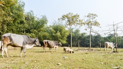 Cattle grazing in field. A typical dairy farm land in rural Bengal, North East India depicting simple rural life. An Village View of Rural India. Bethuadahari, Nadia, West Bengal, India.
