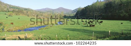Cattle grazing in green field with stream