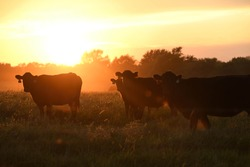 cattle grazing in the pasture at sunset