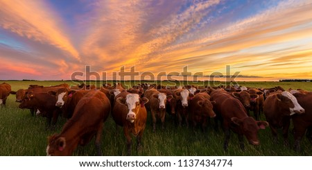 Cattle grazing in the pasture at sunset in the country.