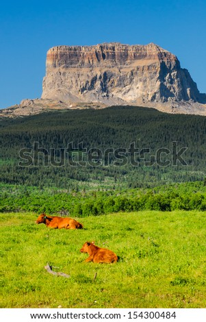 Cattle grazing in the shadow of Chief Mountain, Glacier National Park Montana USA