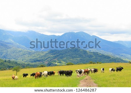 Cattle grazing on a green field near Salta, Argentina