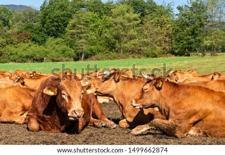 Cattle herd (Limousin) on a pasture in the Taunus / Hesse, Germany #1499662874
