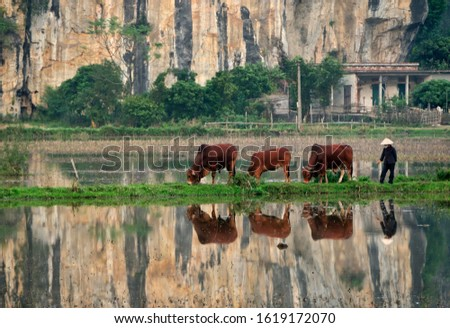 Cattle herder bringing cows and oxen home for the night, Vietnam, Southeast Asia, Asia