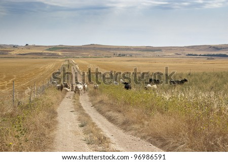 Cattle in a dry agricultural landscape in Ciudad Real Province, Spain