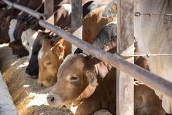 Cattle in a feedlot or feed yard