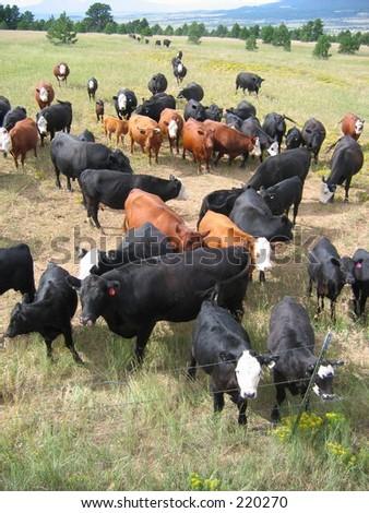 cattle in a mountain meadow