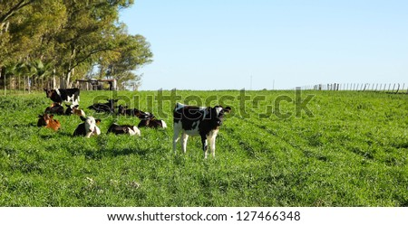 Cattle in a paddock, in the Uruguayan pampas. Carmelo, Rio Negro. Uruguay.