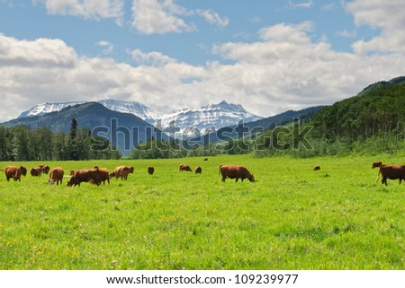 Cattle in a pasture in the foothills of Alberta, Canada