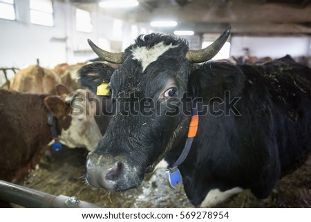Cattle in a stall on a farm. Meat and milk production, agriculture industry, animal welfare concept.  ストックフォト ©