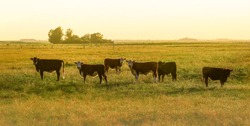 Cattle in Argentine countryside,La Pampa Province, Argentina.