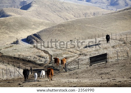 Cattle in California foothills of Southern Sierra Nevada head for home