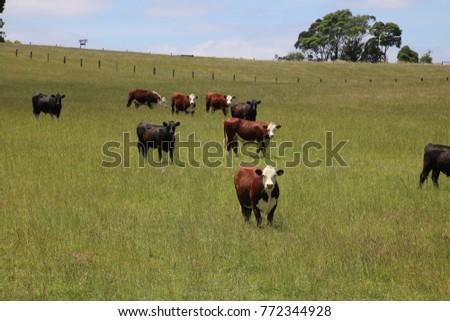 cattle in paddock