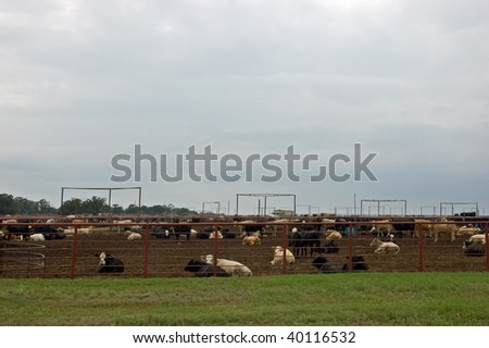 Cattle in pens in commercial feedlot, with lots of copyspace