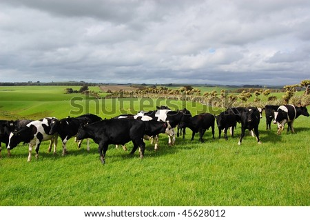 Cattle in ranch, New Zealand