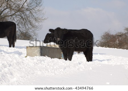 stock photo : Cattle in snow in Kent, England