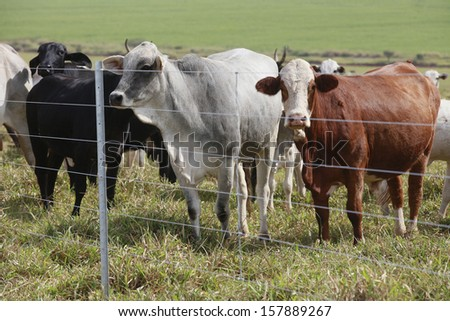 cattle in the field with fence