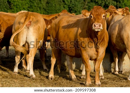 Cattle in the French countryside.