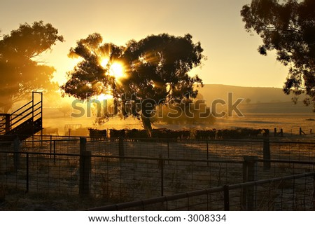 Cattle in the yard at sunrise with sun coming through a tree behind them