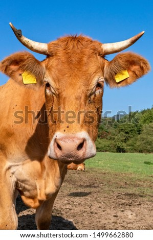 Cattle (Limousin) on a pasture in the Taunus / Hesse, Germany #1499662880