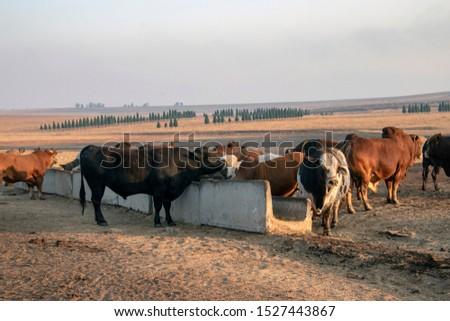 Cattle - Livestock Feeding on farm  #1527443867