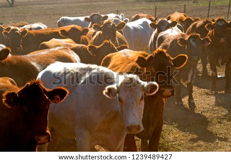 Cattle, mixed cattle in central west NSW Australia, while Angus cattle have became a favorite, many other breeds are also raised country NSW.