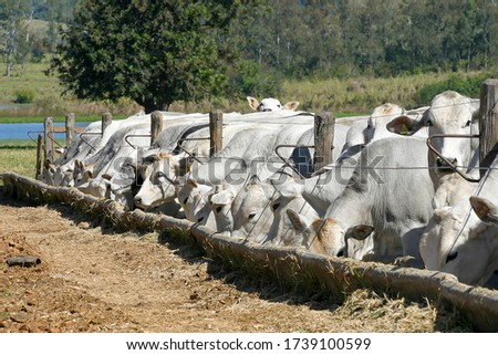 cattle Nellore in confinement on a farm in countryside of Brazil. Cattle for fattening.