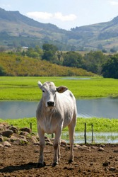cattle Nelore, bovine originating in India and race representing 85% of the Brazilian cattle for meat production on farm