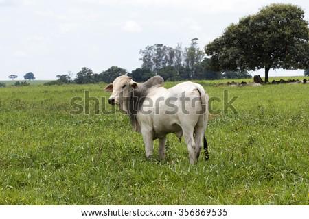 cattle nelore in pasture on brazilian farm