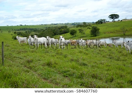 cattle nelore on pasture countryside of brazil