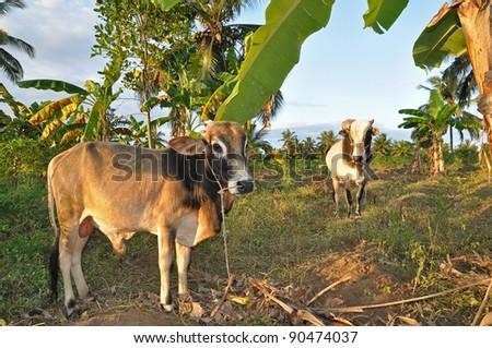 Cattle on a farm in Pemba