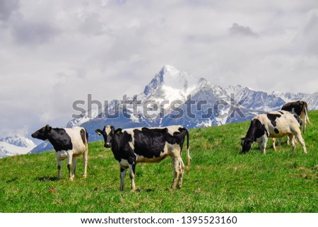 Cattle on a mountain pasture. Colorful morning view in spring season with snow on peaks. Liptov region, High Tatras mountains national park, Slovakia. Holstein Friesians are a breed of dairy cattle. #1395523160