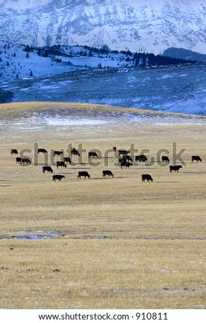 Cattle on a ranch